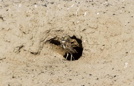 burrowing: Burrowing Owl, Bird of Prey