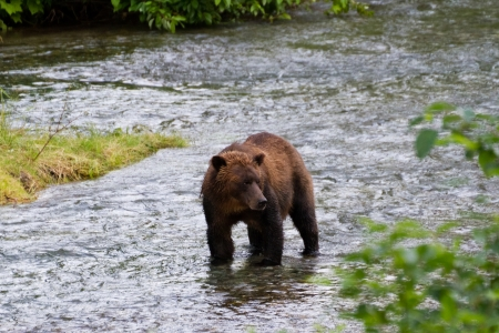 Grizzly bear Catching Salmon at hyder Alaska Stock Photo