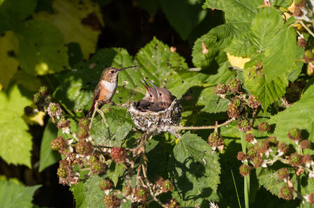 Young Rufous Hummingbird and nest photo