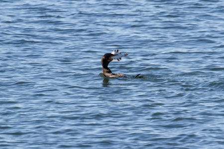 Double crested Cormorant catching fish Stok Fotoğraf