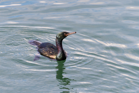 Pelagic Cormorant water bird in bc canada photo