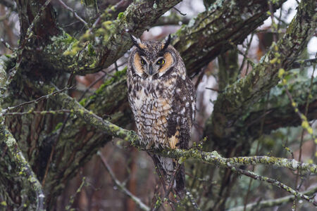 long eared owl, from Delta BC Canada  Stock Photo