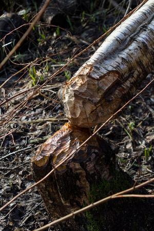 비버는 나무를 절단