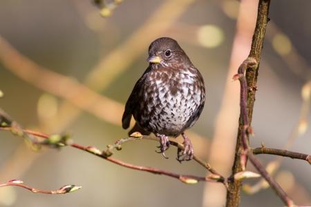 Fox Sparrow, schot in Vancouver BC Canada