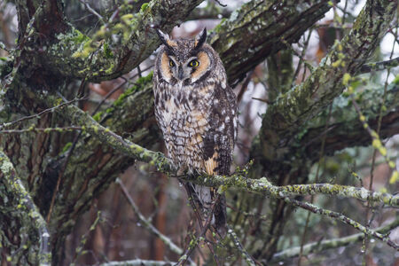 bc: long eared owl from Delta BC Canada  Stock Photo