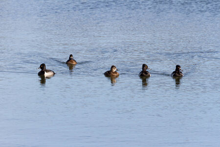 necked: Ring necked Duck in BC Canada Stockfoto