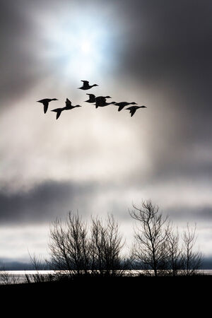 cloudy sky: cloudy sky and flying duck