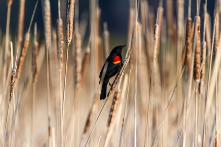 red winged blackbird standing on Cattail