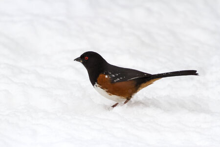 spotted: Spotted Towhee close up shot