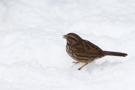 Song Sparrow op grond sneeuw