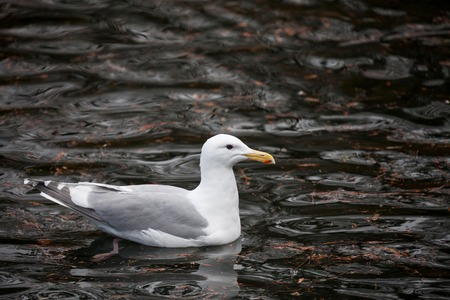 gulls: Glaucous winged Gull close up Stock Photo
