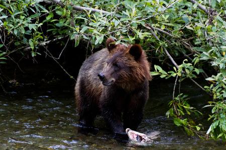 ourson: Grizzly Bear Cub p�che au saumon de l'Alaska � hyder