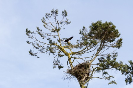 Bald Eagle and nest photo