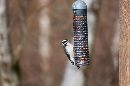 downy: Female Downy Woodpecker and feeder
