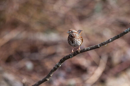 Song Sparrow Stockfoto - 26859927