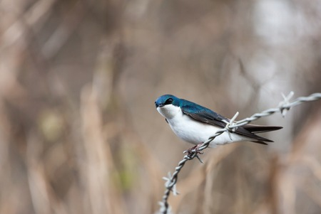 Blue tree swallow in spring