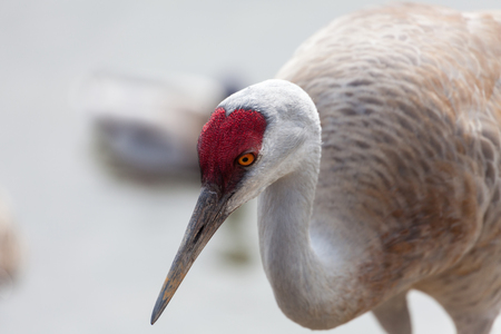 sandhill crane: Sandhill Crane head close up