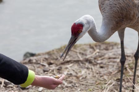 sandhill crane: feeding a Sandhill Crane  Stock Photo
