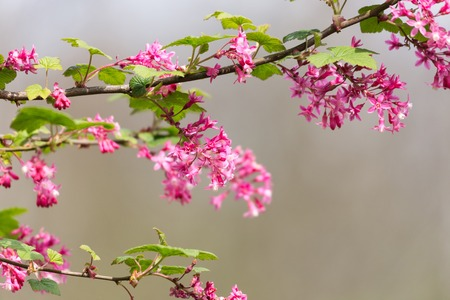 ribes: Red flowering Currant, Ribes sanguineum,