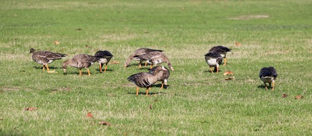 white fronted goose: Greater White fronted Goose in vancouver