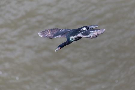 phalacrocoracidae: flying Pelagic Cormorant in Vancouver BC Canada