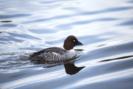 migrations: common goldeneye, waterfowl in vancouver Canada