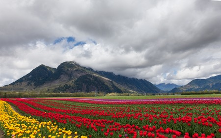 yellow flower tree: Spring Landscape, Tulip Flower Field in Agassiz BC Canada