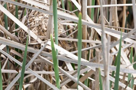 cattails: Marsh Wren nest in a clump of cattails, spring in BC Canada