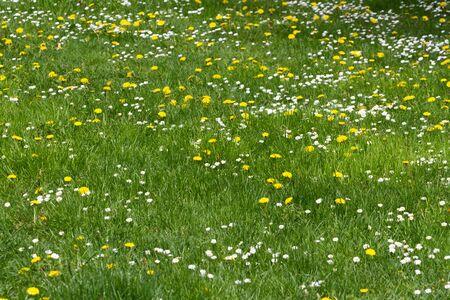 grassy field: grassy field with wildflower Stock Photo