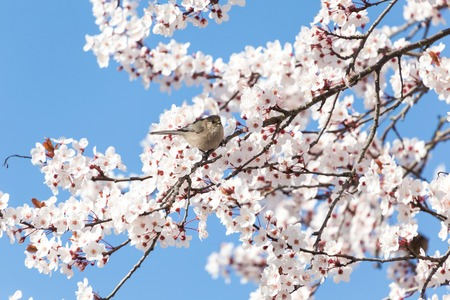 purple leaf plum: male Bushtit standing on cherry flower tree Stock Photo