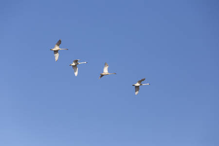 trumpeter swan: Trumpeter Swans flying in vancouver canada