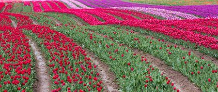 champ de fleurs: Paysage de printemps, Tulip Flower Field Banque d'images