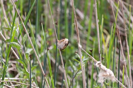 cattails: Marsh Wren, spring in BC Canada Stock Photo