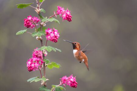 rufous: Rufous Hummingbird and Red flowering Currant,