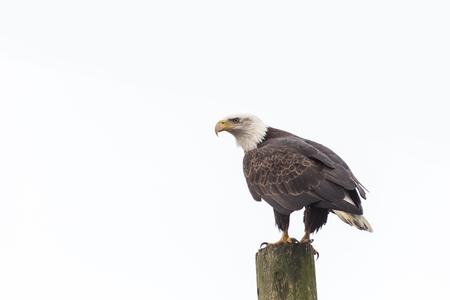 american bald eagle: american bald eagle standing on a Power Pole Stock Photo