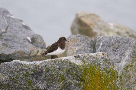 birding: Black Turnstone in BC Canada