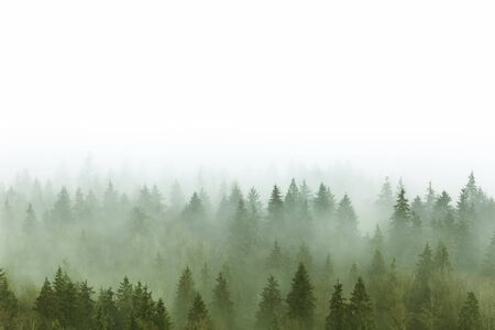 foggy: foggy pine forest in Burnaby Mountain park BC Canada Stock Photo
