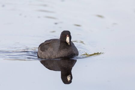 coot: American Coot , lost lagoon vancouver