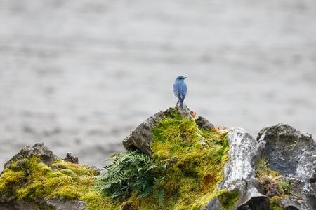 male animal: Male Mountain Bluebird in Vancouver Canada