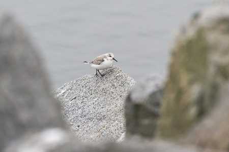 wader: Sanderling in white rock BC Canada Stock Photo