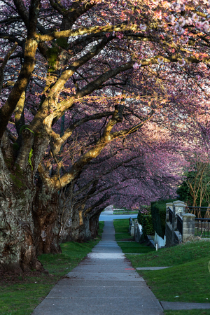Cherry Blossom in Spring, vancouver BC Canada 写真素材