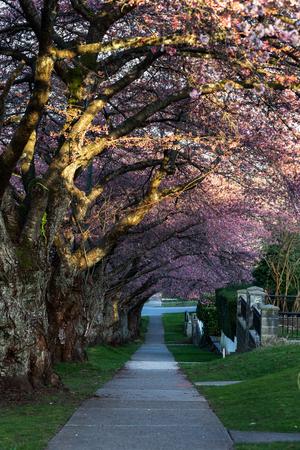 Cherry Blossom in Spring, vancouver BC Canada Archivio Fotografico