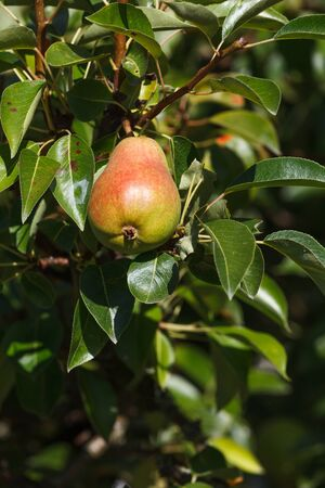ripe: ripe pear and tree