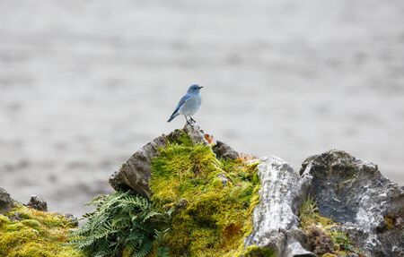 bluebird: Male Mountain Bluebird in Vancouver Canada