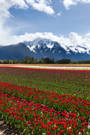 pink skies: Spring Landscape, Tulip Flower Field in Agassiz BC Canada