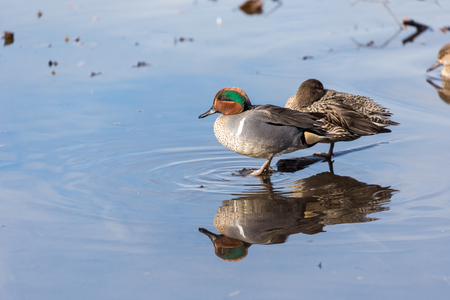 water fowl: Green-winged Teal in burnaby lake bc Stock Photo