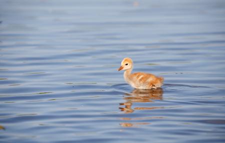 sandhill crane: sandhill crane baby chick, in Burnaby lake Stock Photo