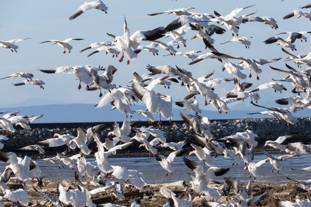 Snow Geese,  Vancouver BC canada Stock Photo