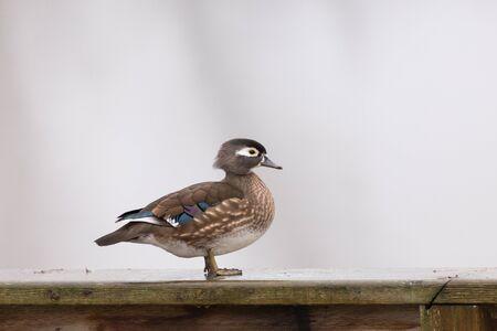 waterbird: Wood Duck in british columbia, canada Stock Photo