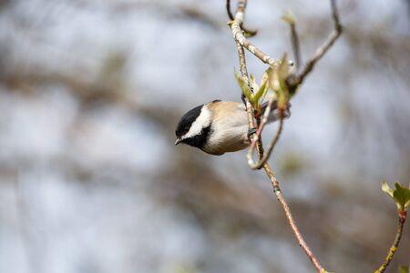 chickadee: black capped chickadee